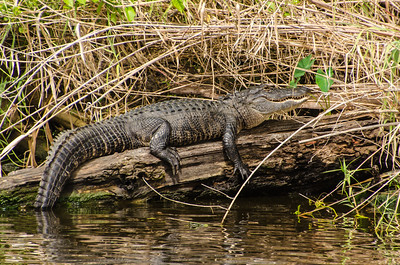 Alligator on the St Johns