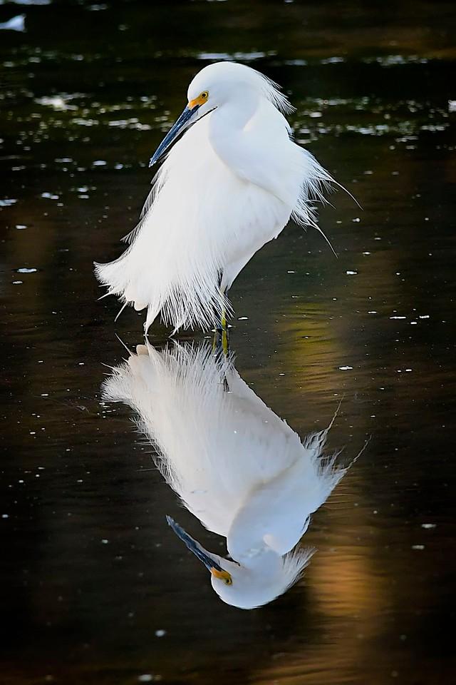 Snowy Egret & Reflection, Miami