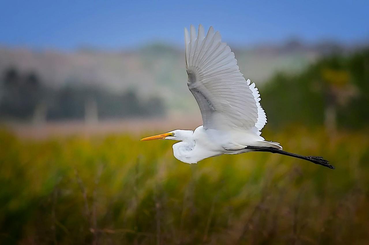 Egret in Flight, Big Cypress Park