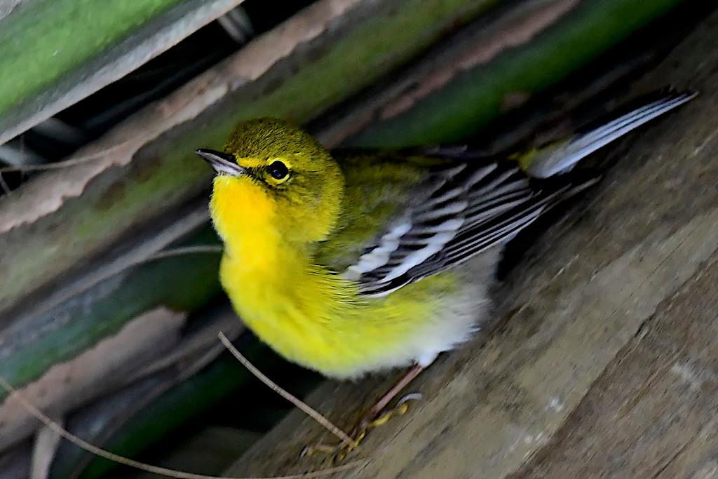 Yellow Bellied Warbler, FL Everglades
