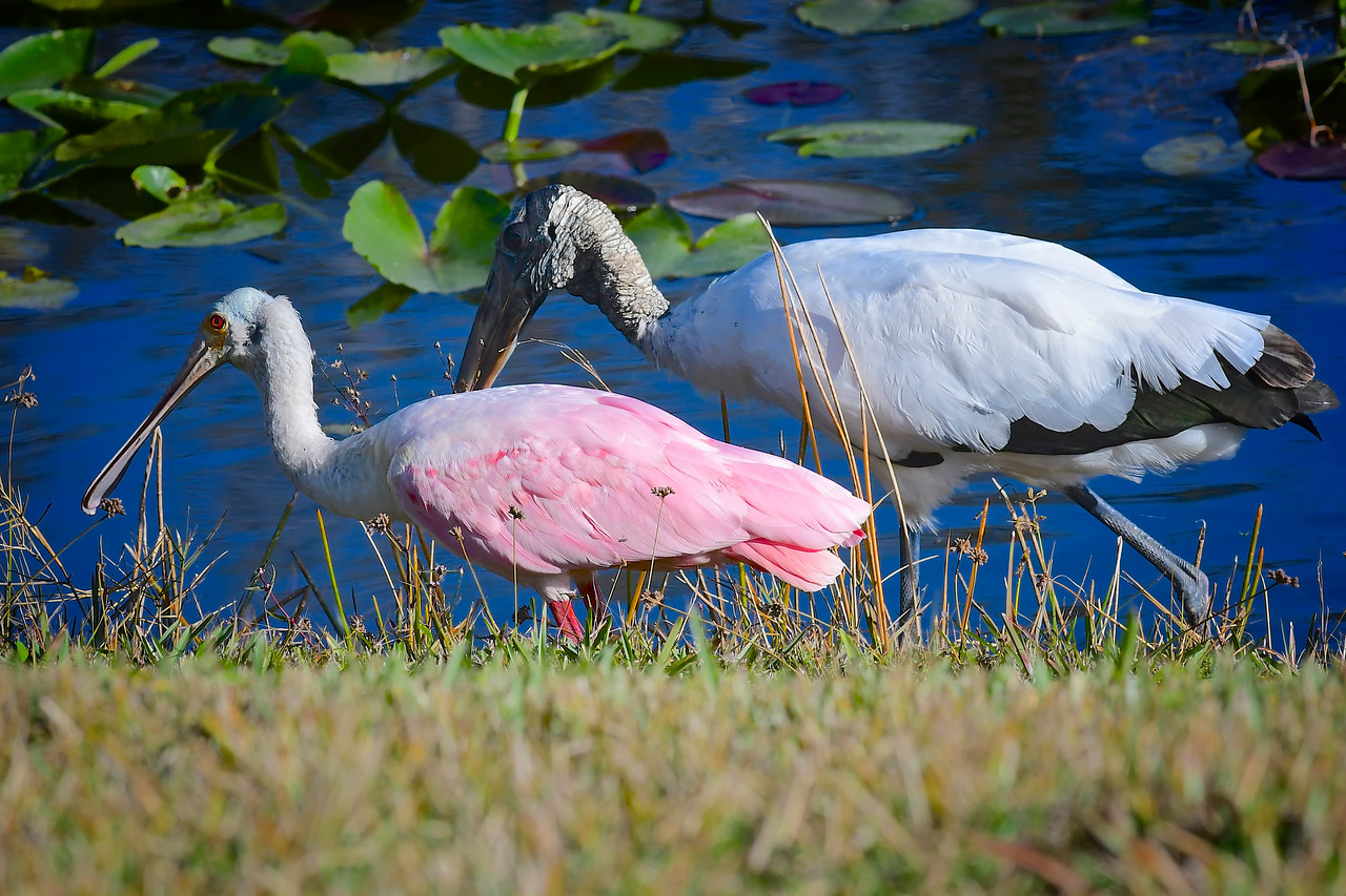 Roseate Spoonbill and Friend, Tampa