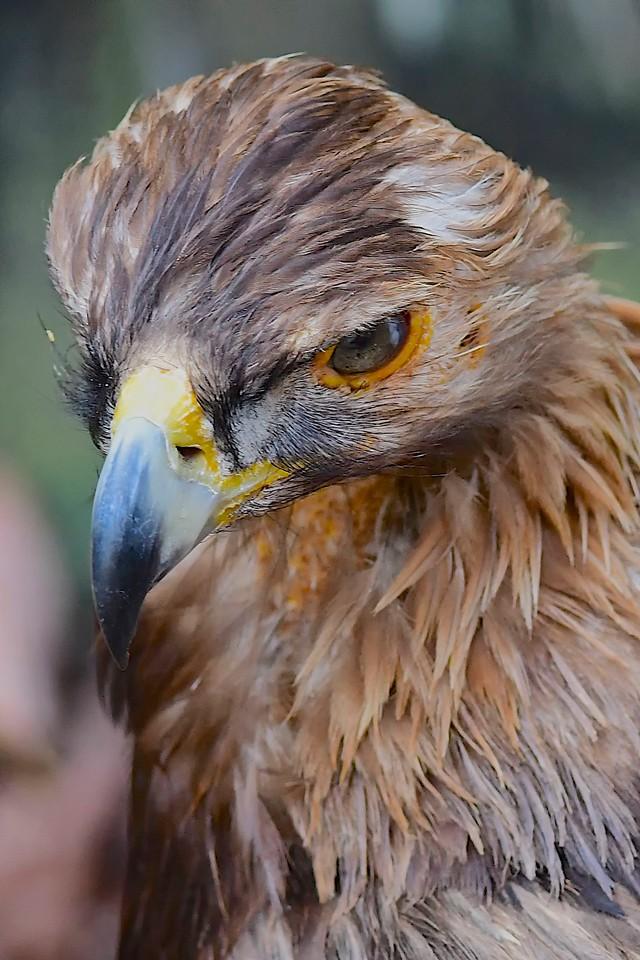 Golden Eagle, Homosassa Springs