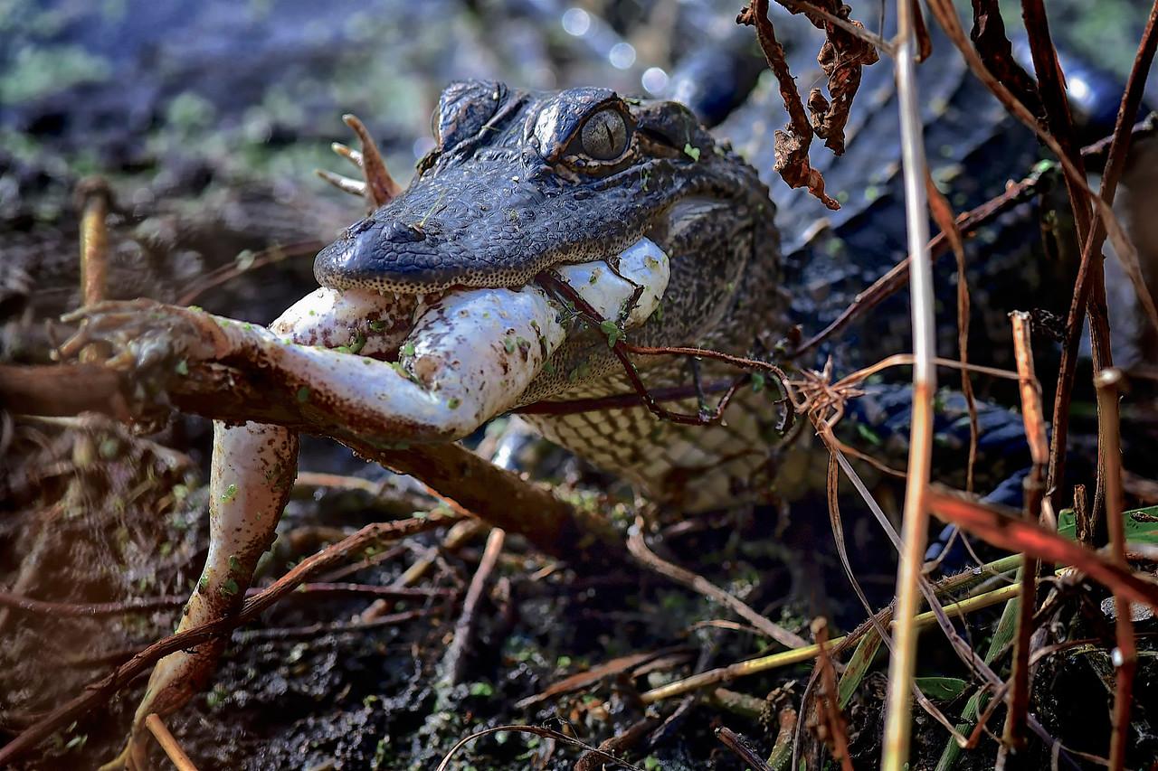 Gator Eating Frog Legs, Circle B Bar Reserve
