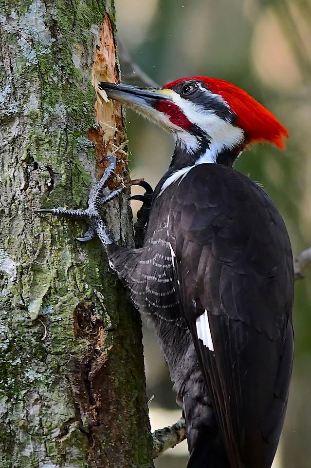Pileated Woodpecker, Corkscrew Swamp