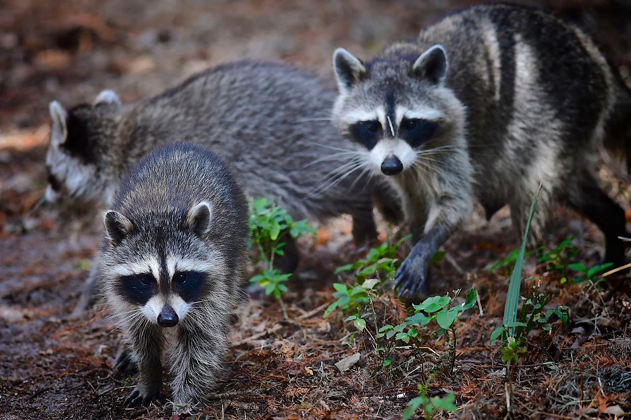 Raccoon Family, Circle B Bar Reserve