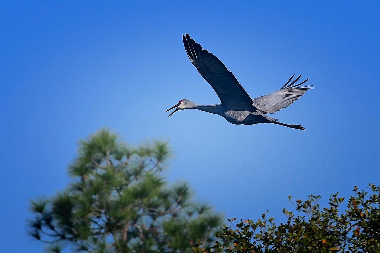 Sand Hill Crane in Flight, Fishhawk Ranch