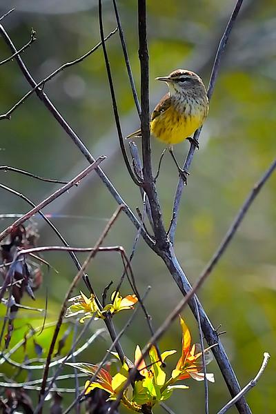 Warbler, FL Everglades