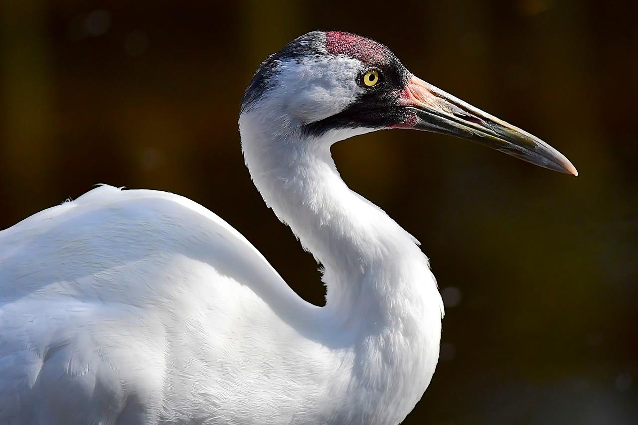 Whooping Crane,  Homosassa Springs