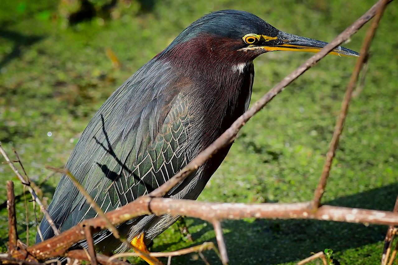 Green Heron, Cirle B Bar Reserve