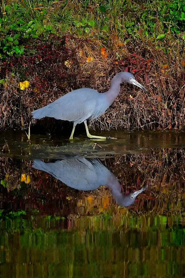Heron Colors, Fishhawk Ranch