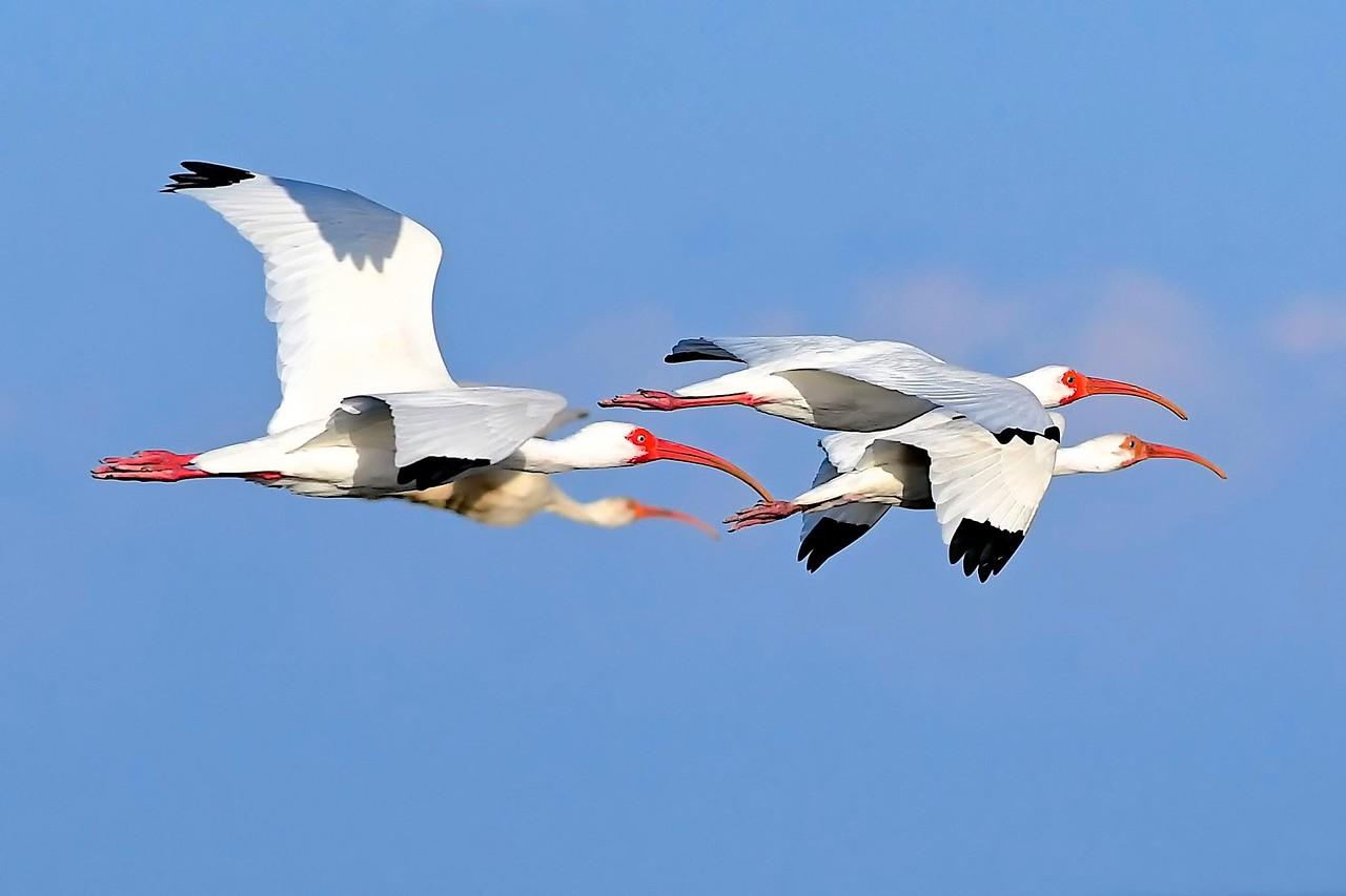 Ibis in Flight,  Key Biscayne
