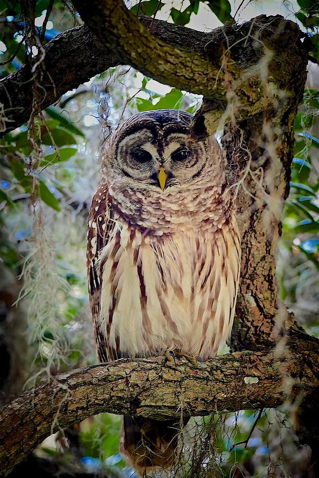 Barred Owl, Circle B Bar Reserve