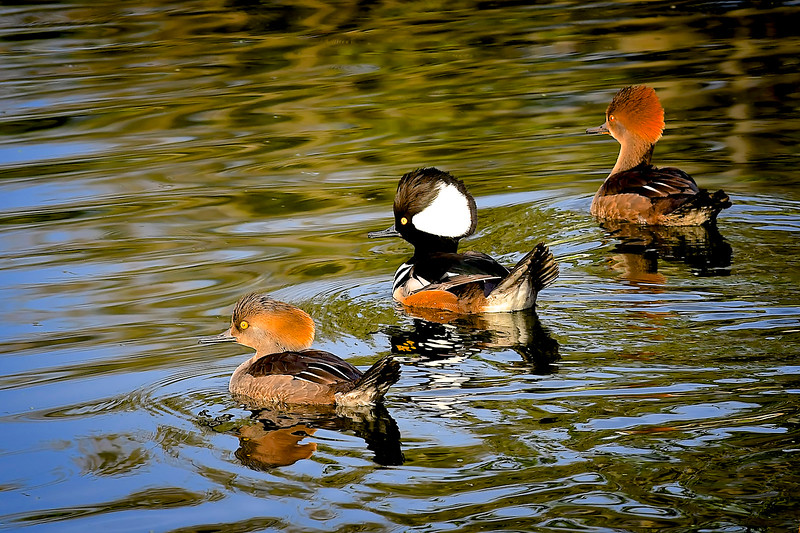 Hooded Mergansers, Fishhawk Ranch