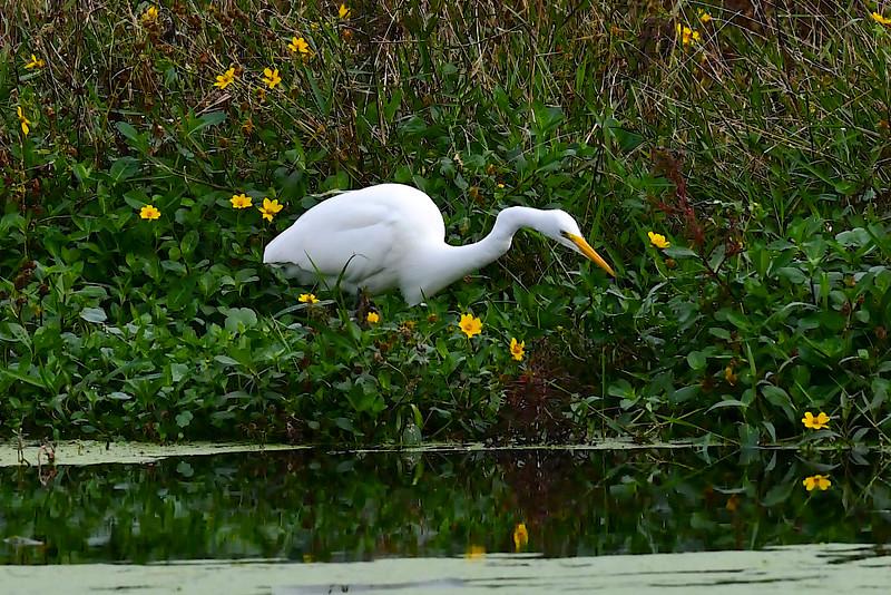 Pretty Egret