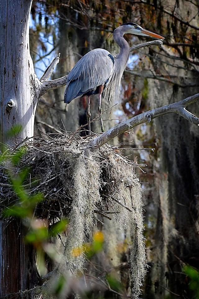 Great Heron on Nest, Circle B Bar Reserve
