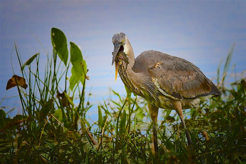 Great Heron with Meal, Circle B Bar Reserve