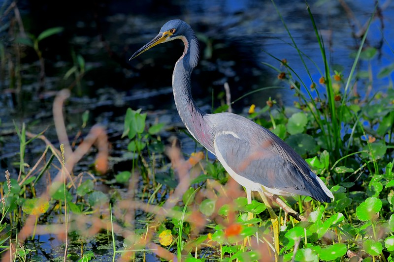 Tri Colored Heron, Homosassa Springs