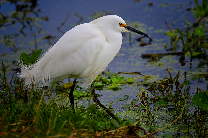 Egret, Circle B Bar Reserve