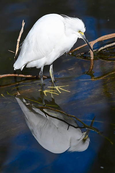 Snowy Egret in the Mirror