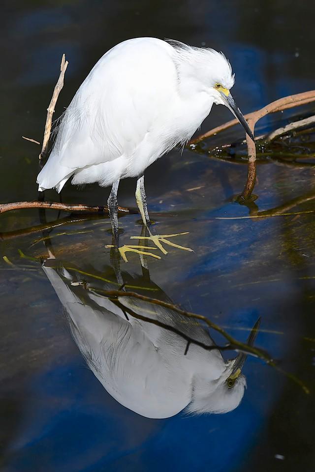 Snowy Egret in the Mirror