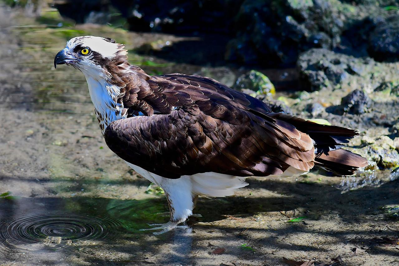 Attentive Osprey