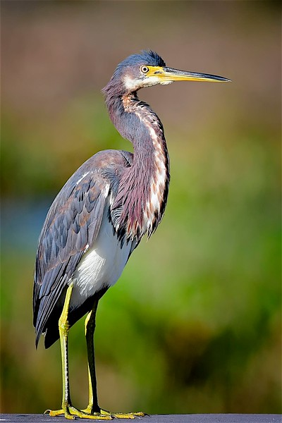 Tri Colored Heron, The Celery Fields, Sarasota