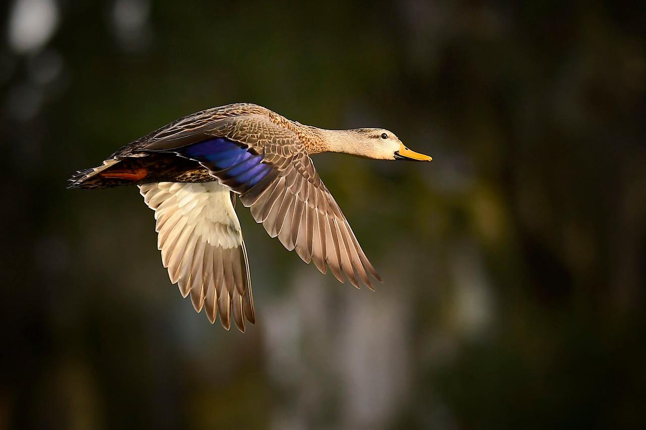 Mottled Duck in Flight,  Fishhawk Ranch