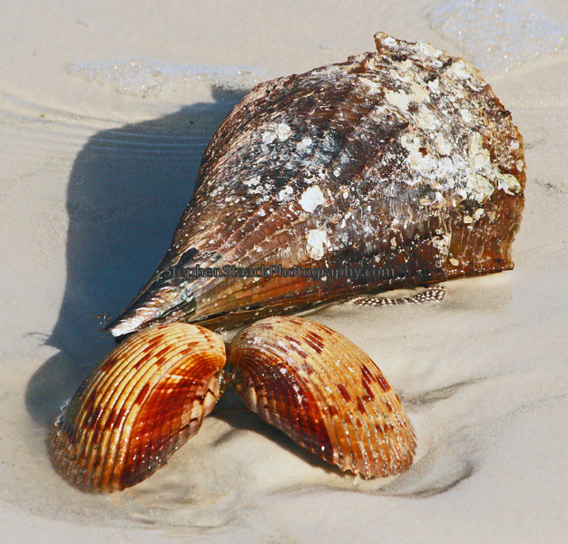 Two Giant Cockle Shells and a Pin Shell were seen on Estero Island.
