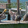 Brown Pelicans on a marina dock