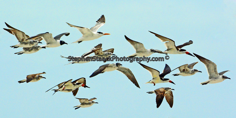 Birds in flight at Fort Myers Beach.