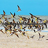 Fort Myers Beach birds in flight.