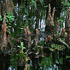 Six Mile Cypress Slough, Cypress Knees