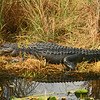 alligator resting in its nest