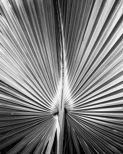 Palm Fronds in Black and White