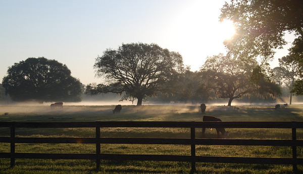 Contented Cows Come From Fog