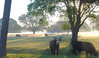Cow looking through the Foggy Sunrise