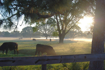 Cows in the foggy sunrise