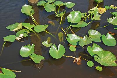151 Lily pads at Bull Creek