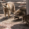 Raccoons at Bill Baggs State Park (9 of 27)