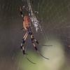 Golden Orb Spider at Long Key State Park