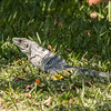 Iguana at Bill Baggs State Park (26 of 27)