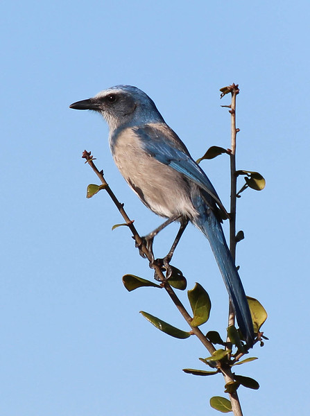 Florida Scrub Jay at Lyonia Preserve in Deltona, Fl.