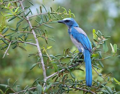 I.D. #3 Florida Scrub Jay - Lyonia Preserve, Deltona, FL