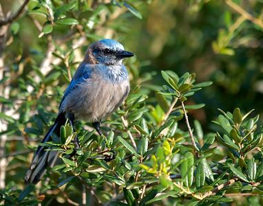 I.D. #10 Florida Scrub Jay - Lyonia Preserve, Deltona, FL