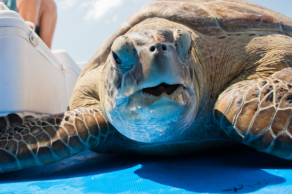 Face to face with an enourmous Green Turtle