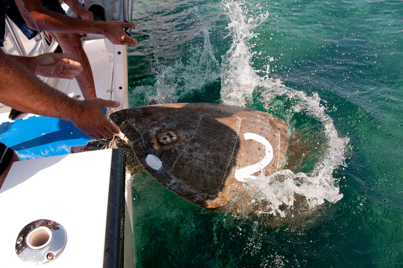 The turtle's shell is painted so the team doesn't accidentally recapture her in the near future.  You can see the small acoustic tag on the back right side of her shell.