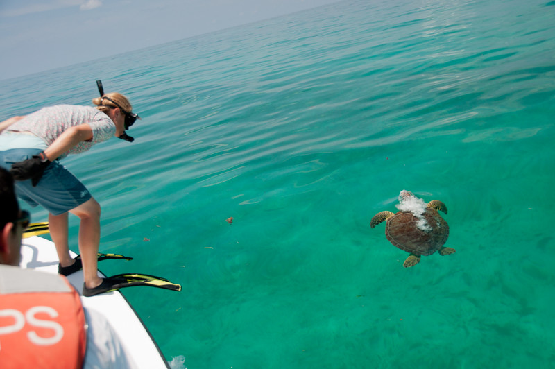 A USGS biologist scoping out a turtle for capture in the clear waters of the Dry Tortugas