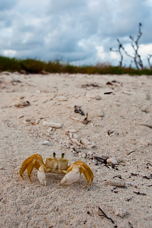 Ghost Crab on Bush Key.  These crabs are voracious predators of turtle hatchlings.