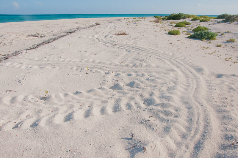 Tracks from a nesting turtle that seemed determined to explore the entire length of the island before deciding where to nest on East Key.