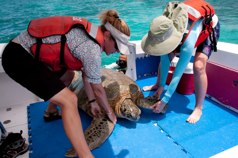 USGS biologists, working in partnership with NPS, haul an enormous rodeo-captured green turtle into their research boat.
